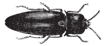 feeler: Fire Beetle or Cucujo (Pyrophorus noctilucus), vintage engraved illustration. Fire beetle isolated on white. Trousset encyclopedia (1886 - 1891).