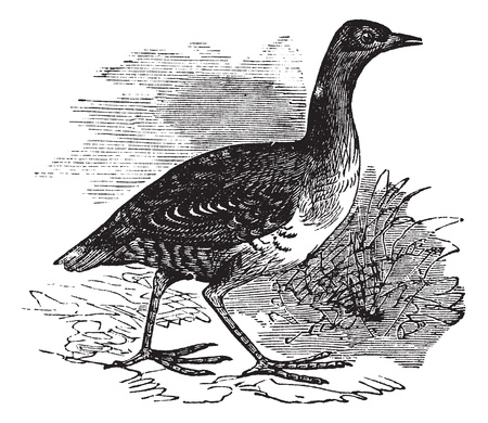 Corn Crake or Crex crex or Rallus crex or Corncrake or Landrail, vintage engraving. Old engraved illustration of Corn Crake in the meadow. Stock Vector - 13770639