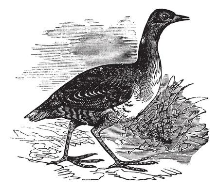 Corn Crake or Crex crex or Rallus crex or Corncrake or Landrail, vintage engraving. Old engraved illustration of Corn Crake in the meadow. Stock Vector - 13770639