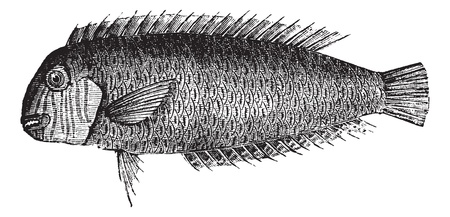 Pearly razorfish or Xyrichtys novacula or Cleaver wrasse or Xyrichthys cultratus, vintage engraving. Old engraved illustration of Pearly razorfish isolated on a white background.   Stock Vector - 13770395