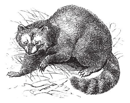 omnivorous: Raccoon or Procyon lotor or Racoon or Common raccoon or North American raccoon or Northern raccoon or Coon or Ursus lotor, vintage engraving. Old engraved illustration of Raccoon in the meadow.