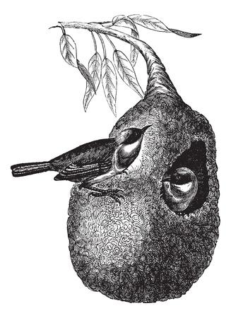 nido de pajaros: Europea moscón tetas o pendulinus Remiz, el grabado de la vendimia. Ilustración del Antiguo grabado de dos tetas Europea moscón con una en el interior del nido colgante y otro sobre el nido.