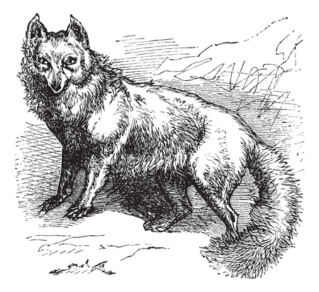 foxes: Arctic Fox or Vulpes lagopus or Alopex lagopus or Canis lagopus or White Fox or Polar Fox or Snow Fox, vintage engraving. Old engraved illustration of Arctic Fox. Illustration