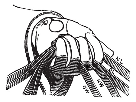 reins: Four reins of horse riding in hand, vintage engraving. Old engraved illustration of four reins of horse riding in hand.