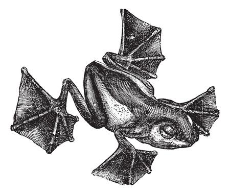 anura: Rana o Rhacophorus Racophorus o Leptomantis o Rhacoforus o Flying, el grabado de la vendimia. Ilustraci�n del Antiguo grabado de Rhacophorus aislado en un fondo blanco.