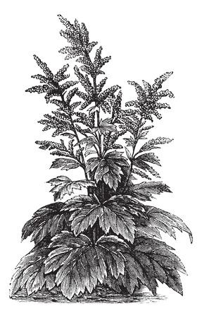 Rheum officinale, vintage engraving. Old engraved illustration of Rheum officinale. Illustration
