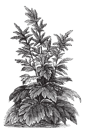 rheum: Rheum officinale, vintage engraving. Old engraved illustration of Rheum officinale. Illustration