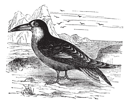 Black Skimmer of Rynchops niger, vintage graveren. Oude gegraveerde afbeelding van de Zwarte Skimmer in de wei.