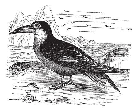 skimmer: Black Skimmer or Rynchops niger, vintage engraving. Old engraved illustration of Black Skimmer in the meadow.