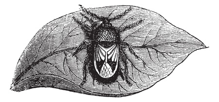Rhyparochromidae or Seed bug, vintage engraving. Old engraved illustration of Rhyparochromidae on the leaf.