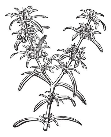 botanika: Rosemary nebo Rosmarinus officinalis, vinobraní, rytina. Staré ryté ilustrace Rosemary izolovaných na bílém pozadí. Ilustrace