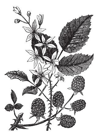 botanika: Blackberry nebo Rubus villosus nebo Bramble, vinobraní. Staré ryté ilustrace Blackberry izolovaných na bílém pozadí. Ilustrace