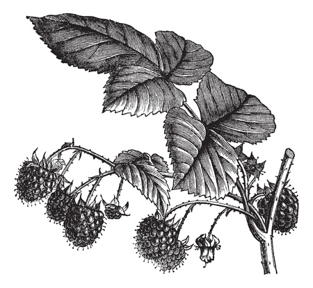 raspberries: Red Raspberry or Rubus idaeus or European Raspberry or Framboise or Raspberry, vintage engraving. Old engraved illustration of Red Raspberry isolated on a white background.