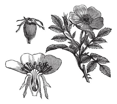 rosaceae: Carolina rose or Rosa carolina or Pasture rose or Low rose, vintage engraving. Old engraved illustration of Carolina rose with flower and fruit  isolated on a white background. Illustration