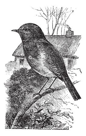 rúdon ülés: Európai Robin vagy erithacus rubecula vagy Robin, szüret. Régi vésett illusztrációja európai Robin vár egy ágon. Illusztráció