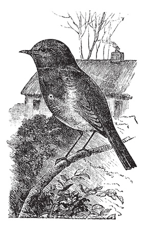 rubecula: European Robin or Erithacus rubecula or Robin, vintage engraving. Old engraved illustration of European Robin waiting on a branch.