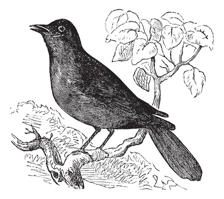 insectivorous: Great Reed Warbler or Acrocephalus arundinaceus, vintage engraving. Old engraved illustration of Great Reed Warbler waiting on a branch.