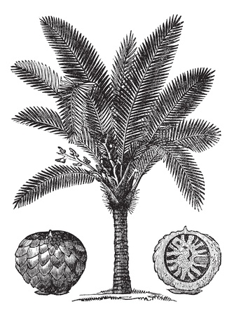 tree sketch: Sago Palm or Metroxylon sagu, vintage engraving. Old engraved illustration of Sago Palm. Illustration