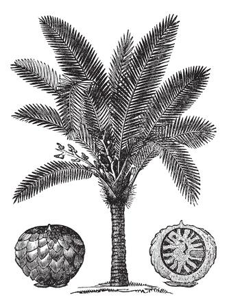 botanical drawing: Sago Palm or Metroxylon sagu, vintage engraving. Old engraved illustration of Sago Palm. Illustration