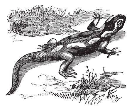 engraved: Spotted Salamander or Ambystoma maculatum or Yellow-spotted Salamander, vintage engraving. Old engraved illustration of Spotted Salamander in the meadow.