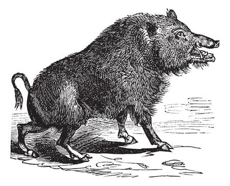 sanglier: Sanglier ou Sus scrofa ou cochon sauvage ou de porc sauvage ou Razorback ou Sanglier Sanglier ou européen, de la gravure de cru. Vieux illustration gravée de sanglier.