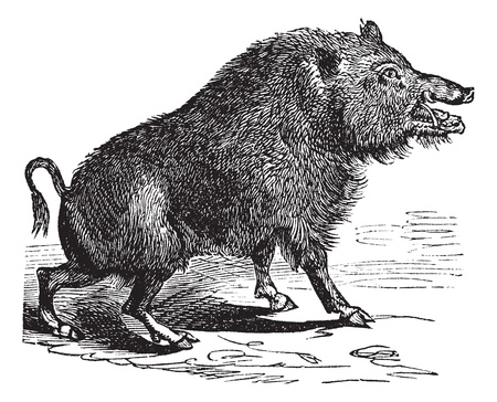 sanglier: Sanglier ou Sus scrofa ou cochon sauvage ou de porc sauvage ou Razorback ou Sanglier Sanglier ou europ�en, de la gravure de cru. Vieux illustration grav�e de sanglier.