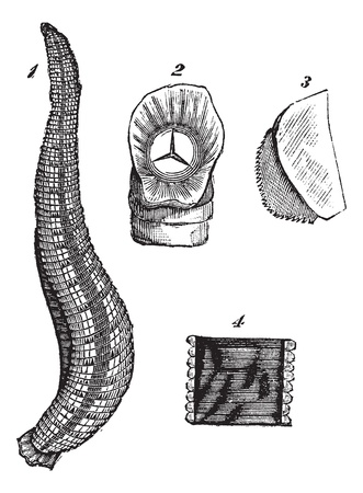 hermaphrodite: Medicinal leech or Hirudo medicinalis or European Medicinal leech, vintage engraving. Old engraved illustration of Medicinal leech and body parts isolated on a white background.