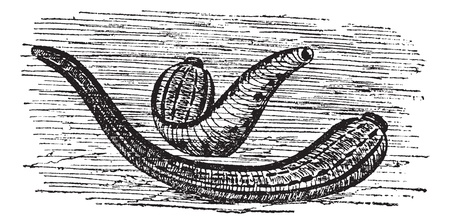 bloodsucker: Leeches, vintage engraving. Old engraved illustration of two Leeches in the water.