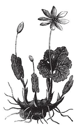 Bloodroot 또는 Sanguinaria canadensis에 또는 Bloodwort 또는 레드 puccoon 루트 또는 Pauson 또는 Tetterwort, 빈티지 조각. Bloodroot의 올드 새겨진 그림은 흰색 배경에 고 일러스트