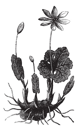 medicinal plants: Bloodroot or Sanguinaria canadensis or Bloodwort or Red puccoon root or Pauson or Tetterwort, vintage engraving. Old engraved illustration of Bloodroot isolated on a white background.