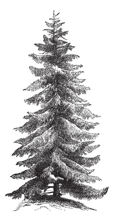 Norway Spruce or Picea abies or European Spruce, vintage engraving. Old engraved illustration of Norway Spruce tree.