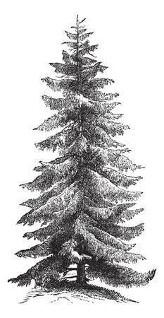 spruce: Picea de Noruega o Picea abies o picea europea, grabado vintage. Antigua ilustraci�n grabada de Noruega �rbol Spruce.