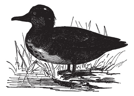 eurasian: Common Teal or Anas crecca or Eurasian Teal or The teal, vintage engraving. Old engraved illustration of Common Teal.