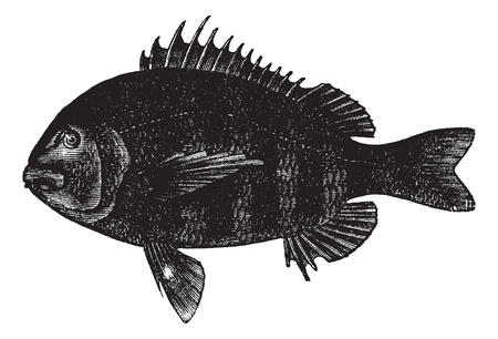 Sheepshead or Archosargus probatocephalus, vintage engraving. Old engraved illustration of Sheepshead isolated on a white background. Stock Vector - 13770190