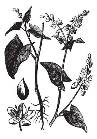 메밀 또는 Fagopyrum esculentum 또는 일반 메밀, 포도 수확, 조각. 메밀의 옛 새겨진 된 그림 흰색 배경에 고립.