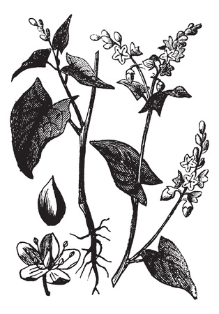 Buckwheat or Fagopyrum esculentum or Common Buckwheat, vintage engraving. Old engraved illustration of Buckwheat isolated on a white background. Vector