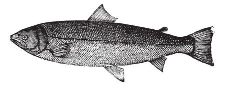 engraved: Atlantic salmon or Salmo salar or Bay salmon or Black salmon or Caplin-scull salmon or Fiddler or Grilse or Grilt or Kelt or Slink or Smolt or Sebago salmon or Winnish or Landlocked salmon, vintage engraving. Old engraved illustration of Atlantic salmon i