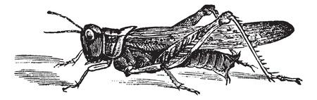 langosta: Langosta de las Monta�as Rocosas o spretus Melanoplus, el grabado de la vendimia. Ilustraci�n del Antiguo grabado de la langosta de las Monta�as Rocosas. Vectores