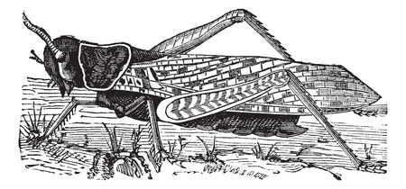 Migratory locust or Locusta migratoria or Acridium migratorium or Acridium plorans or Pachytylus australis or Pachytylus migratorius or Pachytylus migratorioides, vintage engraving. Old engraved illustration of Migratory locust. Vector