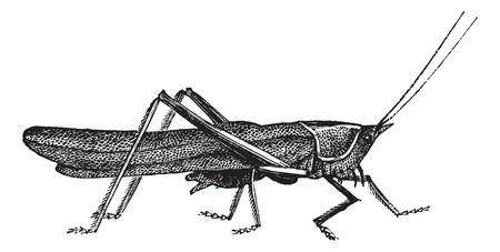 omnivorous: Meadow grasshopper or Chorthippus parallelus, vintage engraving. Old engraved illustration of Meadow grasshopper Illustration