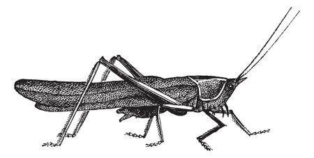 Weide sprinkhaan of Chorthippus parallelus, vintage engraving. Oude gegraveerde illustratie van Meadow sprinkhaan