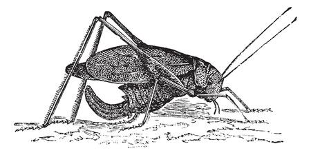 Oblong-Winged katydid or Amblycorypha oblongifolia or Long-horned grasshopper, vintage engraving. Old engraved illustration of Oblong-Winged katydid.