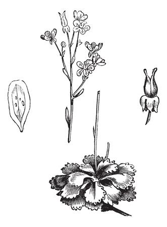Shadow Saxifrage (Saxifraga umbrosa), vintage engraved illustration.Trousset encyclopedia (1886 - 1891). Illusztráció