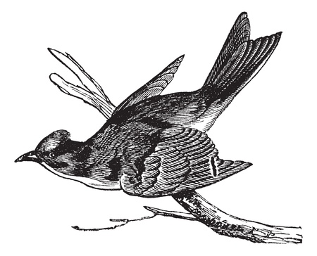 Pewee (Sayornis fuscus), vintage engraved illustration. Pewee perched on tree branch. Trousset encyclopedia (1886 - 1891). Vector