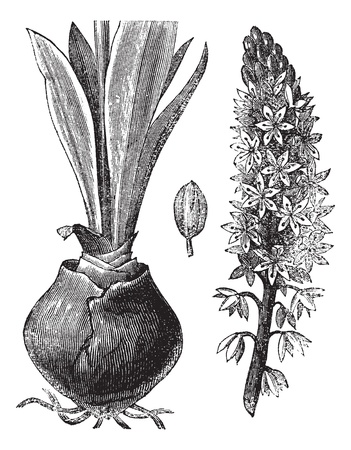 Sea squill (Urginea [scilla] maritima) or red squill or sea onion or ein sit or ada sogani or Drimia maritima, vintage engraved illustration.Trousset encyclopedia (1886 - 1891).  Vector