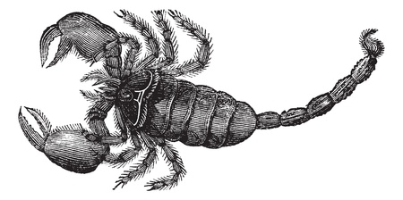 predatory insect: Black Scorpion (Scorpio afer), vintage engraved illustration. Black Scorpion isolated on white.Trousset encyclopedia (1886 - 1891).