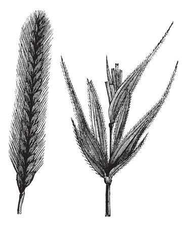 centeno: Centeno o Secale cereale o fr�giles Secale, el grabado de la vendimia. Ilustraci�n del Antiguo grabado de Rye aislado en un fondo blanco.