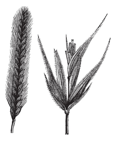 secale: Rye or Secale cereale or Secale fragile, vintage engraving. Old engraved illustration of Rye isolated on a white background. Illustration