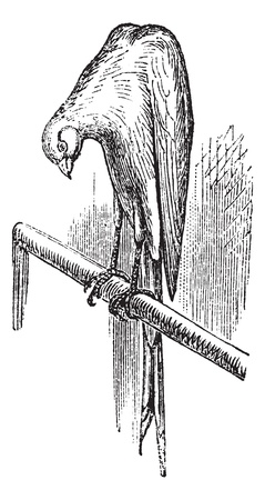 Belgian canary, vintage engraving. Old engraved illustration of Belgian canary.  Иллюстрация