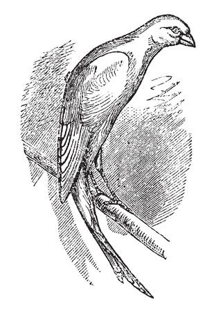 passerine: Scottish fancy canary or Scottish canary, vintage engraved illustration. Trousset encyclopedia (1886 - 1891).